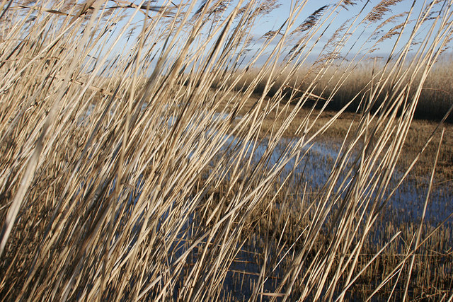 Attribution:Julie Williams / Cut reed bed beside River Waveney under the Creative Commons Attribution-Share Alike 2.0 Generic license.